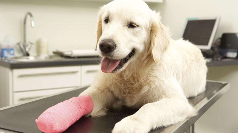 Un chien après une intervention