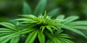 Le cannabis : que dois-je savoir ?